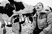 Dairy Farmers and their Cows in the winter, Canada, January 1997
