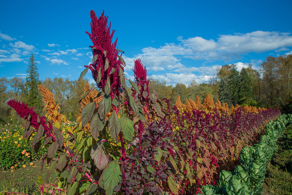 United States, Washington, Carnation, rows of salvia flowers in field at farm