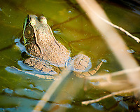 Kermit the bull frog in the back pond. Image taken with a Nikon 1 V3 camera and 70-300 mm VR lens.