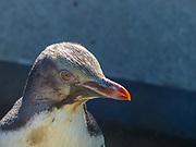 Yellow-eyed penguin (Megadyptes antipodes), Dunedin, Otago, South Island, New Zealand,