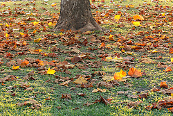 Autumn leaves and tree trunk on ground near Keeton Park Golf Course,Great Trinity Forest, Dallas, Texas, USA