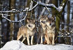 28.12.2014, Wildtierpark, Bad Mergentheim, GER, Wölfe im Wildtierpark Bad Mergentheim, im Bild 3 Woelfe halten Ausschau, Timberwolf, Kanadischer Wolf (Canis lupus occidentalis) im Schnee, captive // Wolves in the Wildtierpark in Bad Mergentheim, Germany on 2014/12/28. EXPA Pictures © 2015, PhotoCredit: EXPA/ Eibner-Pressefoto/ Weber<br /> <br /> *****ATTENTION - OUT of GER*****