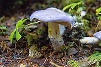 Surprising in the Easter-egg lilac/blue/purple color of this mushroom alone, these stood out in sharp contrast to the forest greens and rich browns on the Mount Baker-Snoqualmie National Forest in Washington's Cascades Mountains on a cold and wet November morning alongside the Greenwater River. Upon closer inspection, the sudden intense odor of rotting fruit, wet dog, and those orange circus peanut candies came to mind. The underside of these mushroom was cinnamon brown, and so was the spore print I made from one of them.