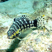 Harlequin Bass inhabit low profile reefs, areas of coral rubble and sea grass beds in Tropical West Atlantic; picture taken Grand Cayman.