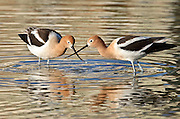 An American Avocet pair (Recurvirostra americana) crosses beaks while feeding in a small pond in Thornton, Colorado