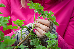 Taking cuttings from scented leaved pelargoniums - Pelargonium 'Attar of Roses' AGM. Collecting suitable material.