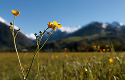 THEMENBILD - Blumen im Sonnenschein auf einer Wiese, aufgenommen am 10. Mai 2017, Kaprun, Österreich // Flowers in sunshine on a meadow at Kaprun, Austria on 2017/05/10. EXPA Pictures © 2017, PhotoCredit: EXPA/ JFK