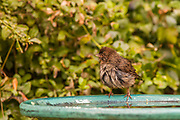 A rumpled California Towhee (Melozone crissalis) after the bath