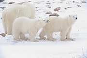 Two polar Bear cubs (Ursa maritimus) with mother on sub-arctic Hudson Bay <br />