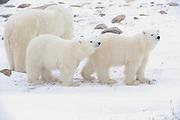 Two polar Bear cubs (Ursa maritimus) with mother on sub-arctic Hudson Bay <br />Churchill<br />Manitoba<br />Canada