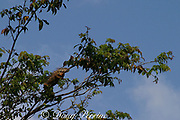 green iguana, Iguana iguana, male in breeding colors, sunning itself high in the treetops, Sittee River, Belize, Central America