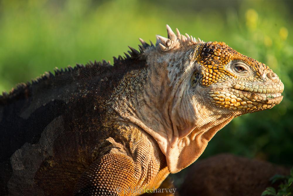 Galapagos land iguana (Conolophus subcristatus), Galapagos, Ecuador, South America