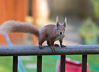 Red Squirrel, Isle of Wight