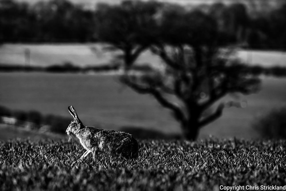 Roxburgh, Kelso, Scottish Borders, UK. 5th April 2019. A European Hare, also known as the Brown Hare (Lepus Europaeus), on arable farmland in the fertile Tweed basin.