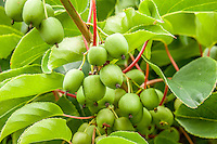 A cluster of Immature Kiwi fruit hangs from a branch.