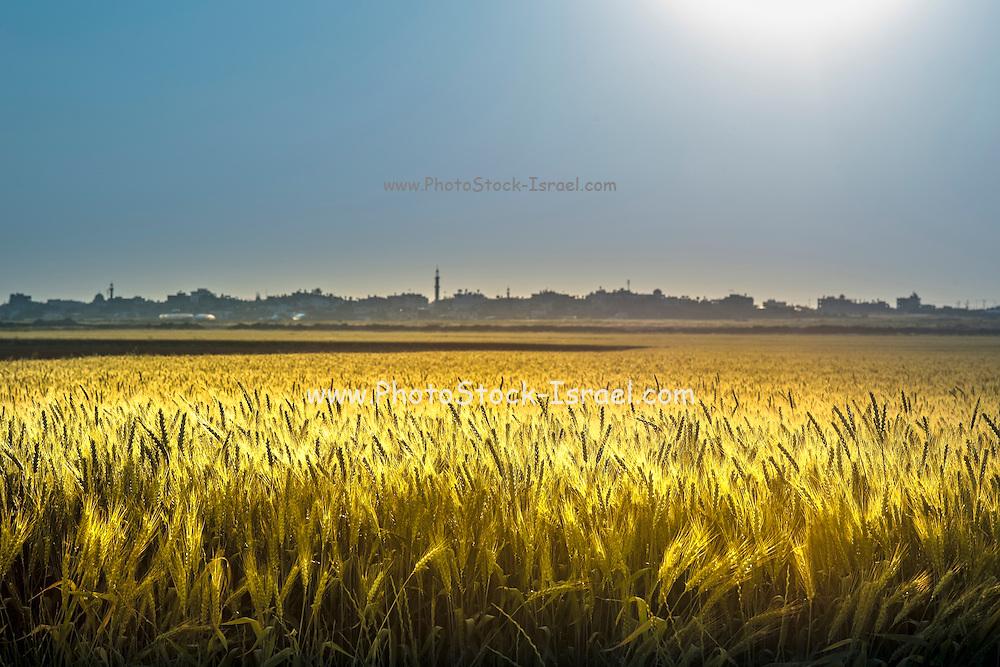 Wheat field Photographed in Eshkol region Israel Gaza in the background
