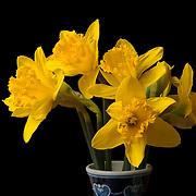 Fresh daffodils in a vase.