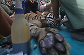 Tigers embroiled in conflicts with humans released back to the wild