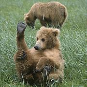 Alaska brown bear (Ursus middendorffi) cub stretching its leg, foot up in the air. Katmai National Park & Preserve, Alaska