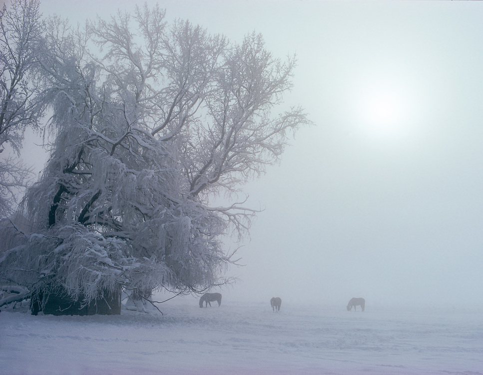 Horses feeding, fog, January, Kittitas Valley, Washinton, USA