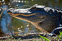 Alligator sunning along the Loop Road in Big Cypress National Preserve. Winter Nature in Florida Image taken with a Fuji X-T2 camera and 100-400 mm OIS telephoto zoom lens.