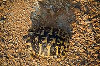 Greece, Meteora, Hermann's Tortoise (Testudo hermanni) near Meteora