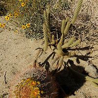 USA, California, San Diego County. Blooming Barrel Cactus, Cholla, and Brittlebush flowers at at Anza-Borrego Desert State Park.