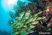 French grunts, Haemulon flavolineatum,  school under a ledge, Playa del Carmen, Cancun, Quintana Roo, Yucatan Peninsula, Mexico ( Caribbean Sea )