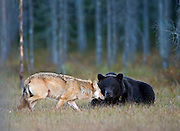 Unusual Friendship Between Wolf And Bear <br /> <br /> an amazing event occurred involving a male bear cub and a female wolf cub. The shy bear cub tended to avoid the other bears and to feed alone. If larger individuals appeared, the young cub would quietly depart.<br /> This scenario continued for several nights. Then a light coloured female wolf cub joined the young bear. She, too, kept herself to herself, avoiding conflict. I called them Romeo and Juliet. Romeo's behaviour emboldened Juliet. Romeo sat at a funny attitude at the dinner table and appeared inquisitive but friendly when Juliet guardedly crept up to the same table. From her attitude it was obvious that Juliet was prepared to flee immediately if Romeo disliked her. Tail between her legs and her entire body tensed, the wolf cub finally summoned up the courage to eat off the same plate as the little bear.<br /> In the realm of the bears I had never before seen an individual which did not in one way or another behave threateningly towards a wolf, if not by actually charging, at least by emitting that characteristic smacking together of the jaws  or a low-pitched warning growl.<br /> Had the two been members of the same species one would have surmised that  deeper feelings were at work. But a wolf and a bear - huh! In fact, their friendship actually grew night by night. Romeo would appear first. Not long afterwards Juliet's pale form could be discerned in the forest. As soon as it became evident that no other bears or wolves were feasting, she would join her friend. At its best the distance between the two heads as the animals sank their teeth into the food was a mere 30-40 cm.<br /> This unusual love affair lasted for well over a week before the animals went their separate ways. Later, I saw Romeo several times but he was always alone. Juliet, on the other hand, could be seen hanging out with her relatives. It is highly characteristic of wolf behaviour for the pack to disperse, only to gather again in a variety of compositions – eve