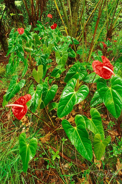 Anthurium flowers in a tree fern forest, Puna District, The Big Island, Hawaii