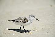 Sanderling (Calidris alba) feeding on horseshoe crab eggs (<br /> Little St Simon's Island, Barrier Islands, Georgia<br /> USA<br /> HABITAT & RANGE: Circumpolar Arctic breeder and long-distance migrant
