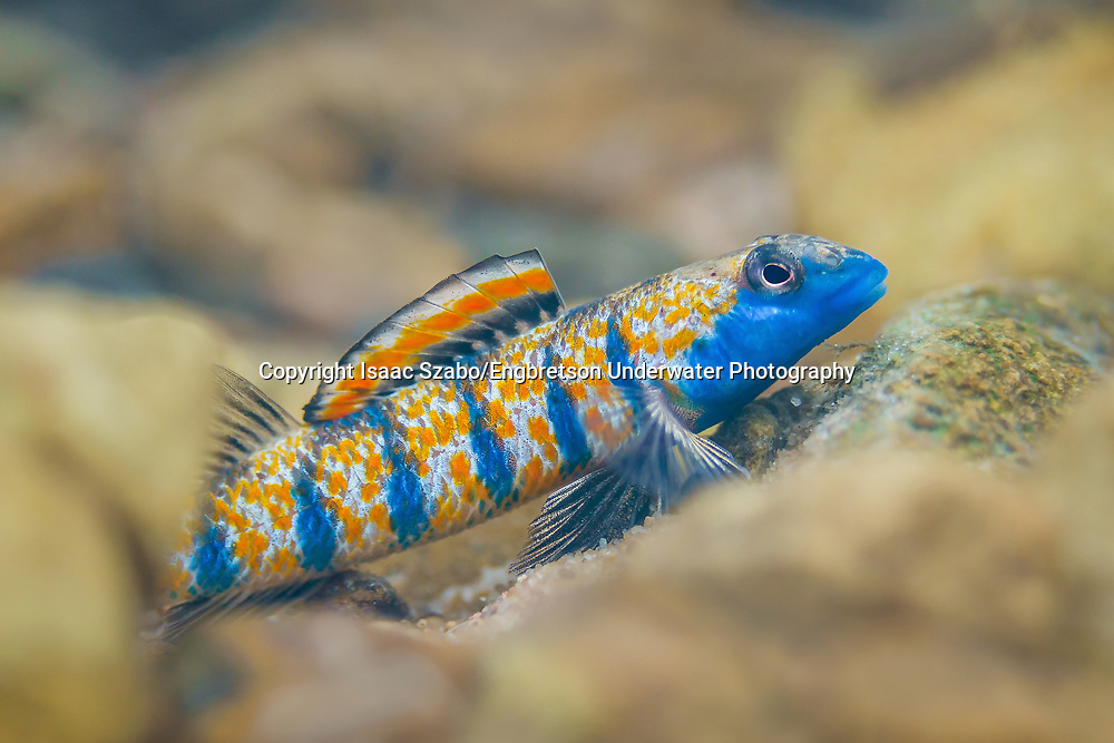 Bluemask Darter<br /> <br /> Isaac Szabo/Engbretson Underwater Photography