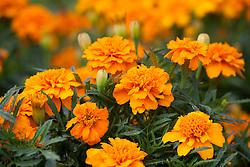 Tagetes patula 'Orange Winner'. Marigold