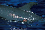 pan-tropical spotted dolphin, Stenella attenuata, <br /> with wound from bite of cookie-cutter shark,<br /> Isistius brasiliensis<br /> Big Island, Hawaii, USA ( Pacific )