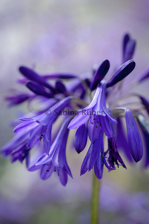 Agapanthus 'Quink Drops' - African blue lily