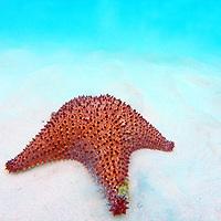 Caribbean, Barbados, Carlisle Bay. Red Cushion Sea Star in sand.