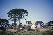 Paraná pine trees, Araucaria angustifolia, growing around farmhouse building on rural farm, near Curitiba, Paraná state, Brazil 1962