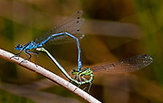 Male and female common blue damselfly mating on a reed, Ash Moor Nature Reserve, Devon, U.K.
