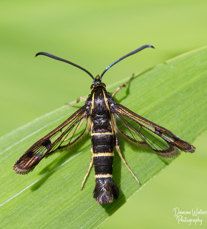 Currant Clearwing Moth, Synanthedon tipuliformis, sat on green leaf in sunshine - Wirral, June
