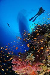 Klunzingeris soft corals, Dendronephthya klunzingeri, and scuba diver, South Egypt, Red Sea, MR