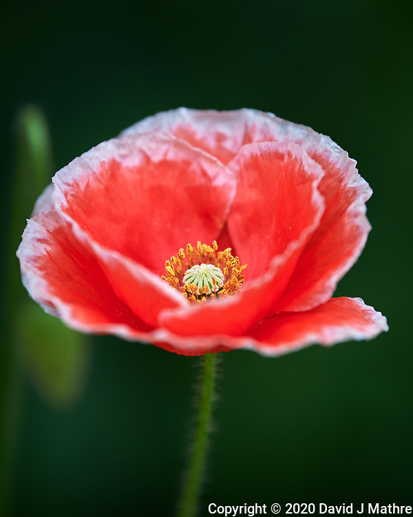 Pink Poppy Image taken with a Nikon Df camera and 70-200 mm f/2.8 lens.