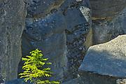 Coniferous sapling growing alonf Mistaya Canyon, Banff National Park, Alberta, Canada