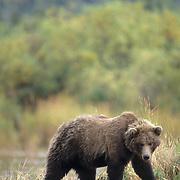 Alaskan Brown Bear, (Ursus middendorffi) Adult foraging along lakeshore Alaska Peninsula.