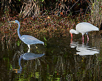 Tricolored Heron (Egretta tricolor) and White Ibis (Eudocimus albus). Black Point Wildlife Drive, Merritt Island Wildlife Refuge. Merritt Island, Brevard County, Florida. Image taken with a Nikon D3x camera and 300 mm f/2.8 VR lens.