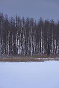Dusky coast with swamp forests of alders and dead birch trees along lake Sloka, Kemeri National Park (Ķemeru Nacionālais parks), Latvia Ⓒ Davis Ulands   davisulands.com