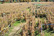 A corn maze in the fall in Arkansas.
