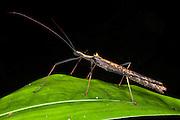 Walking Stick Insect (Pseudophasma sp)<br /> Yasuni National Park, Amazon Rainforest<br /> ECUADOR. South America<br /> HABITAT & RANGE: