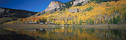 Yellow Aspens on Hillside in the Fall