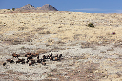 Bison herd on move across rolling hills during bison roundup, Ladder Ranch, west of Truth or Consequences, New Mexico, USA.