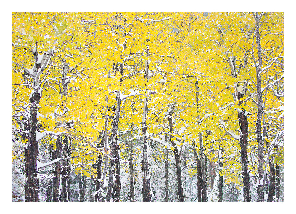 dense yellow autumn leaves hanging on after winter snowstorm